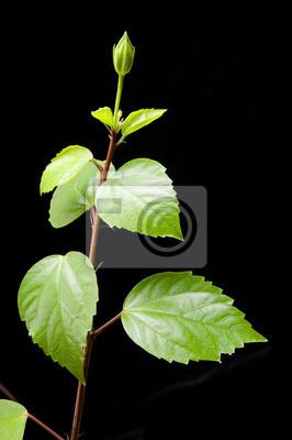 Bild Hibiscus Zweig mit Blättern und Knospen auf dem schwarzen Hintergrund