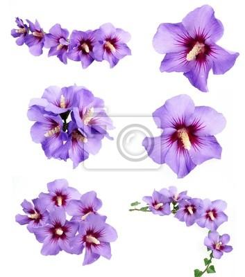 Bild Hibiskusblüten Sammlung