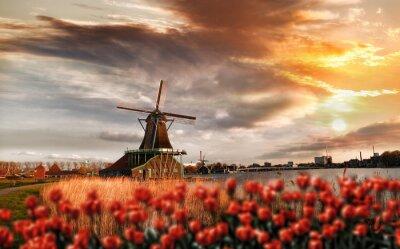 Bild Holländische Windmühlen mit roten Tulpen in der Nähe von Amsterdam, Niederlande
