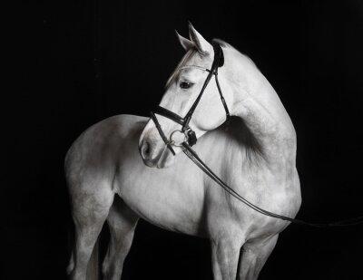 Bild Holsteiner Pferd weiß vor schwarzem Hintergrund