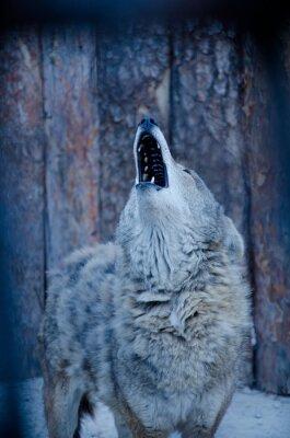Bild Howling Wolf (in Blautönen, Retro-Stil, flache DOF)
