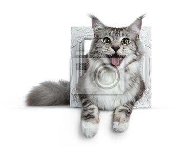 Hübsche lächelnde junge erwachsene schwarze silberne Katze der getigerten Katze Maine Coon, die in einen weißen Fotorahmen lokalisiert auf den weißen Hintergrund, die Linse mit offenem Mund betrachten