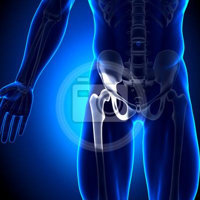 Hüftgelenk / femur - anatomie bones leinwandbilder • bilder Sitzbein ...