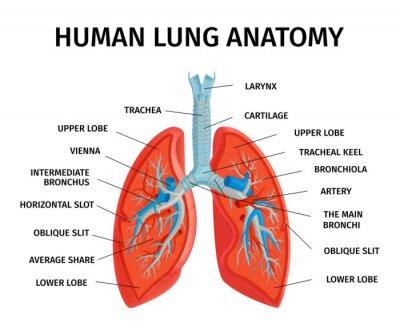 Bild Human Lung Anatomy Diagram