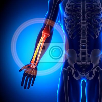 Humerus - anatomie bones leinwandbilder • bilder Sitzbein ...