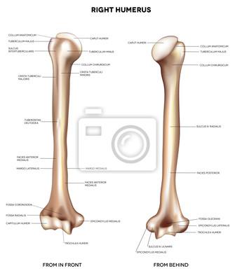 Humerus-oberarmknochen leinwandbilder • bilder Dichte, Physiologie ...