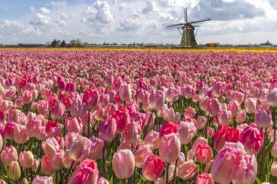 Bild Iconic Dutch tulips bulb farm in spring time at Amsterdam