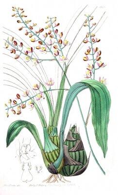 Bild Illustration der Pflanze