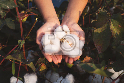 Bild In the hands of the cotton grower harvested cotton