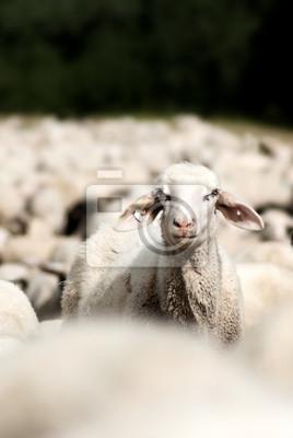 individuelles Schaf