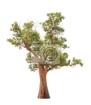 Irvingia malayana auch als Wilde Almond, alt tropischer Baum i bekannt