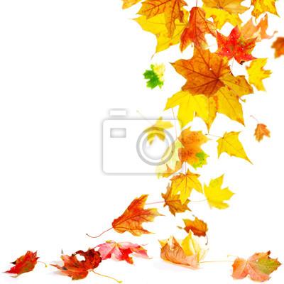 Isoliert Herbst Ahorn Blatter Fallen Zu Boden Leinwandbilder