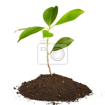 Bild Junge grüne Pflanze auf weißem Hintergrund