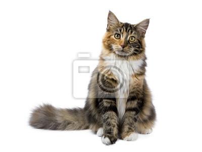 Junge Maine Coon Katze / Kätzchen sitzt isoliert auf weißem Hintergrund