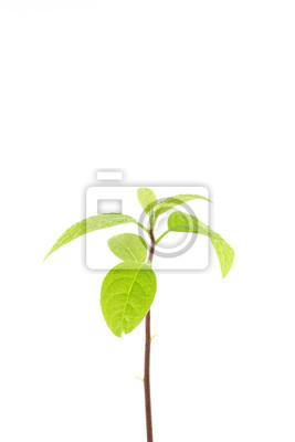 Bild junge Pflanze Baum auf weißem Hintergrund