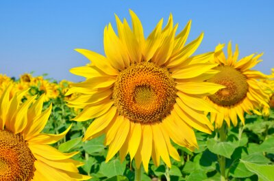 Bild Junge Sonnenblumen blühen im Feld gegen einen blauen Himmel