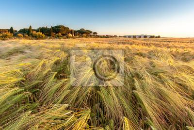 Junge Weizen wächst in grünen Bauernhof-Feld unter blauem Himmel