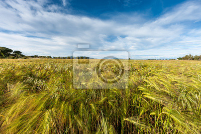 Junge Weizen wächst in grünen Feld-Hof