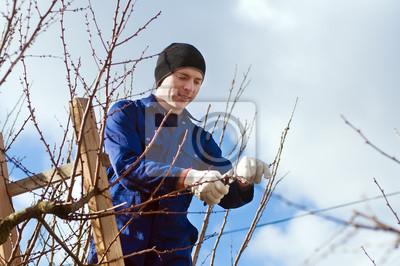 Junger Mann Rebschnitt Aprikose Zweige mit Leiter