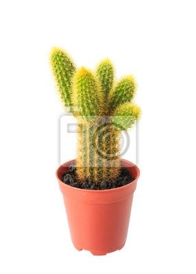 Kaktus im Blumentopf isoliert auf weißem Hintergrund