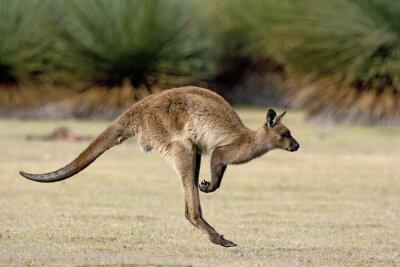Bild Känguru beim Hüpfen