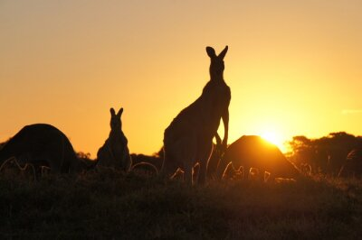 Bild Känguru Silhouetten bei Sonnenuntergang