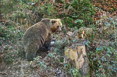 Bild Karpaten Braunbär