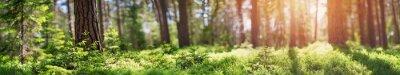 Bild Kiefern- und Tannenwaldpanorama im Frühjahr. Bahn im Park