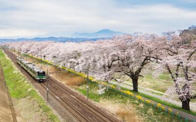 Bild Kirschblüten oder Sakura und Lokalzug