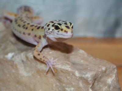 Bild Kleine Leopard Gecko auf einem Stein. Nahansicht
