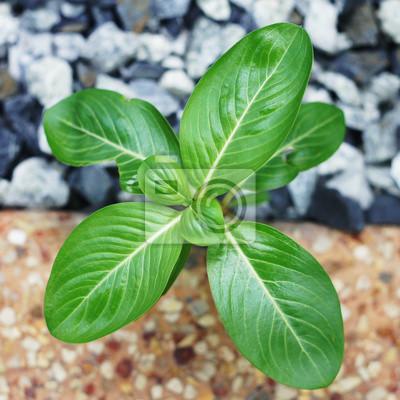 Bild kleine Pflanze Vinca glühenden zwischen Fels und Beton