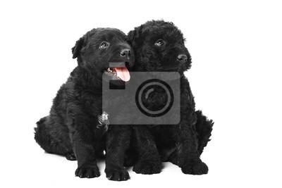 Kleine ungarische Puli Hund