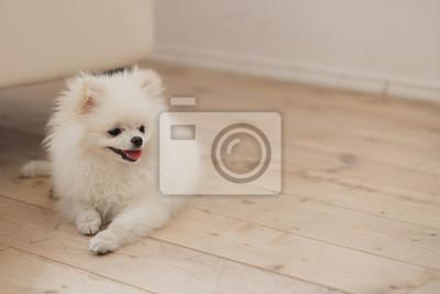 Bild Kleinen weißen Spitz Hund auf Holz Hintergrund