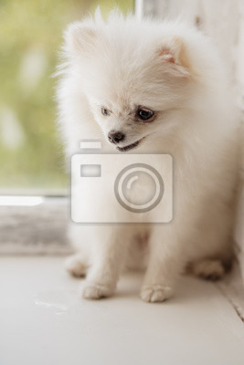 Bild Kleiner weißer Spitz-Hund
