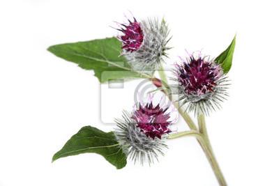 Bild Klette Blumen auf einem weißen Hintergrund