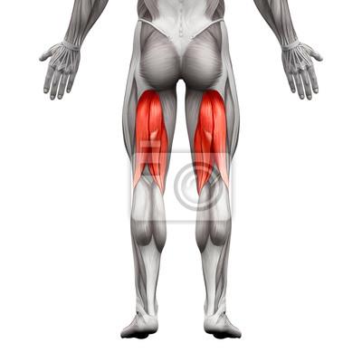 Kniesehnen männliche muskeln - anatomie muskel isoliert auf weiß ...