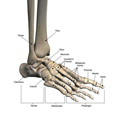 Knochen des fußes beschriftet leinwandbilder • bilder etikettiert ...