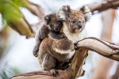 Bild Koala