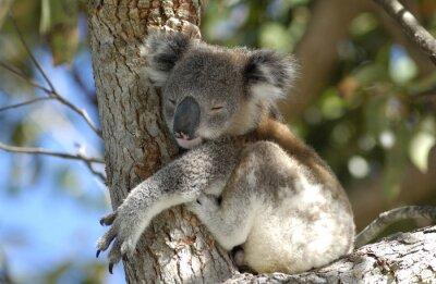 Bild Koala am Port Stephens Bereich, NSW, Australien.