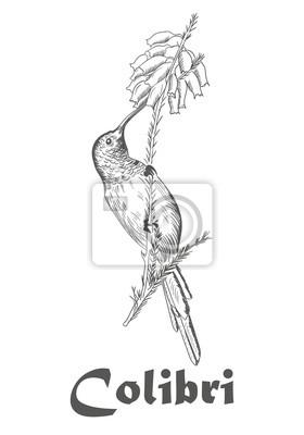 Kolibri Und Blume Ausmalbilder Für Erwachsene Vektor Illustration