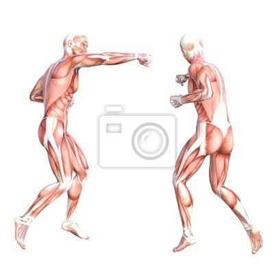 Konzeptionelle anatomie gesundes, hautloses menschliches körper ...