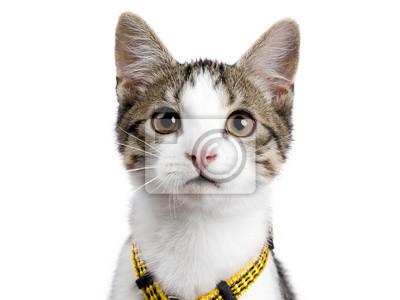Kopf Schuss von europäischen shorthair Kätzchen / Katze auf weißem Hintergrund tragen gelbe Harnas und Blick in die Kamera