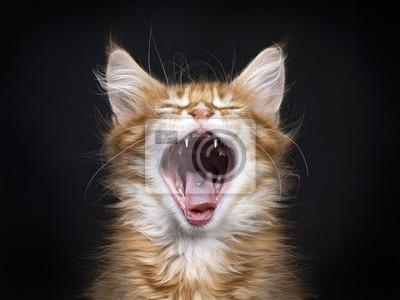 Kopf Schuss von gähnenden roten Tabby Maine Coon Kätzchen (Orchidvalley) isoliert auf schwarzem Hintergrund