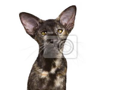 Kopf Schuss von orientalischen shorthair Katze sitzt isoliert auf weißem Hintergrund