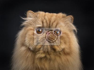 Kopf Schuss von roten persischen Katze sitzt isoliert auf schwarzem Hintergrund und Blick in die Kamera