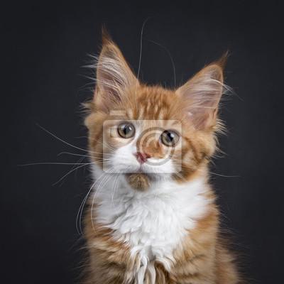 Kopf Schuss von roten Tabby mit weißen Maine Coon Kätzchen (Orchidvalley) sitzt isoliert auf schwarzem Hintergrund Blick in die Kamera