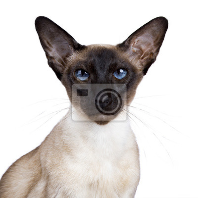 Kopf Schuss von siamesischen Katze sitzt isoliert auf wite Hintergrund