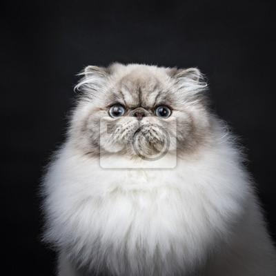 Kopf Schuss von Tabby-Punkt Persische Katze sitzt isoliert auf schwarzem Hintergrund