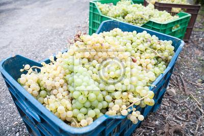Korb von Trauben für die Ernte