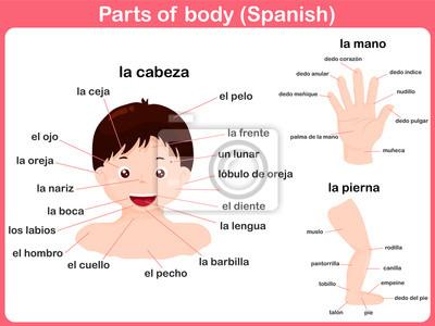 Körperteile - spanische sprache leinwandbilder • bilder spanische ...